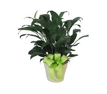 Simply Elegant Spathiphyllum in Grand Rapids MI, Kennedy's Flower Shop