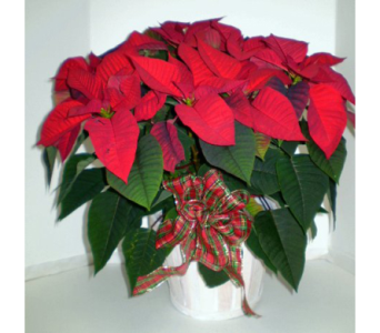 Holiday Red Poinsettia in Falmouth MA, Falmouth Florist 508-540-2020