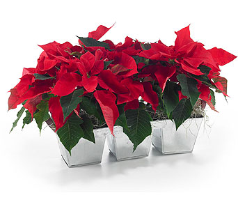Triple Poinsettia in Georgetown ON, Vanderburgh Flowers, Ltd