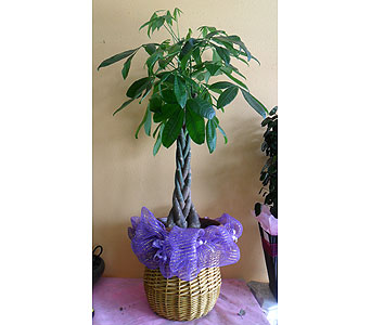 Large Money tree 50h x 24w in Rowland Heights CA, Charming Flowers