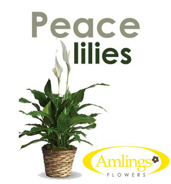 Peace Lily Plant  in Chicagoland IL, Amling's Flowerland