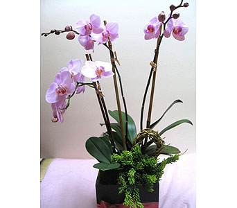 Triple Orchid Plant in West Los Angeles CA, Sharon Flower Design