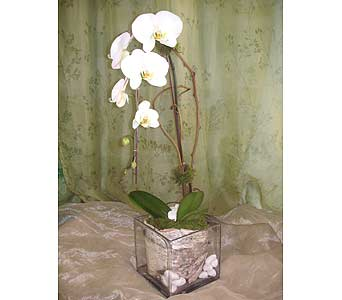 Cascade White Phal Orchid Plant with Birch Bark in West Los Angeles CA, Westwood Flower Garden
