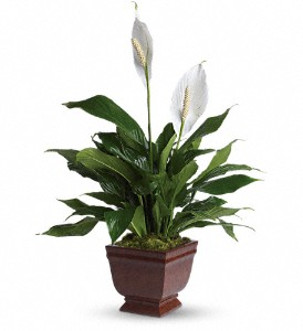 Teleflora's Lovely One Spathiphyllum Plant in Lincoln NE, Abloom