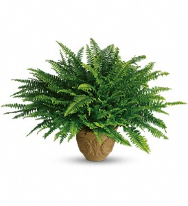 Teleflora's Heartwarming Thoughts Boston Fern in Mount Morris MI, June's Floral Company & Fruit Bouquets