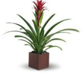 Bromeliad in Charleston SC, Tiger Lily Florist Inc.