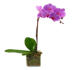 Flowering Orchids (Metro-Detroit Area Only) in Southfield MI, Thrifty Florist