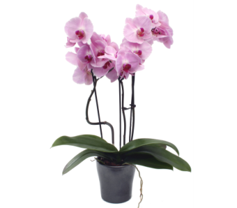 Phalaenopsis Orchid  in Grimsby ON, Cole's Florist Inc.