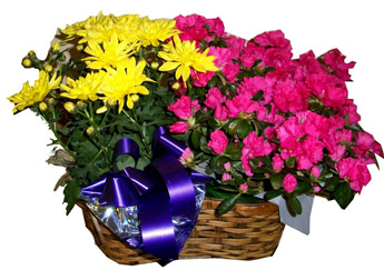 Double Plant Basket in Scranton PA, McCarthy Flower Shop<br>of Scranton