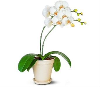 Double Orchid Plantby Nature Nook� in Cleves OH, Nature Nook Florist & Wine Shop