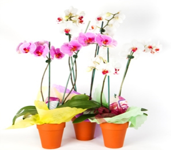 ELEGANT ORCHIDS in Chatham ON, Stan's Flowers Inc.