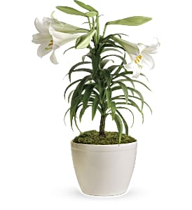 Easter Lily Plant in Jersey City NJ, Entenmann's Florist