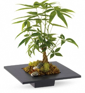 Money Tree in Bluffton IN, Posy Pot