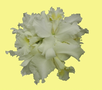 White Cattelya Orchid Nosegay in Perry Hall MD, Perry Hall Florist Inc.