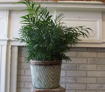 Palm Plant in Dubuque IA, Butt's Florist