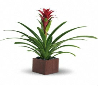 Bromeliad Care in Nashville TN, Emma's Flowers & Gifts, Inc.