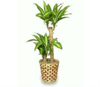Corn Plant Care in Nashville TN, Emma's Flowers & Gifts, Inc.