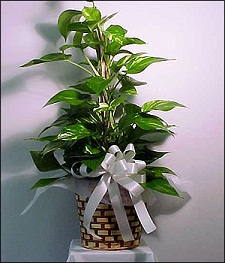 Green Pothos in Glendale AZ, Blooming Bouquets
