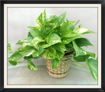 Pothos Ivy in Tyler TX, The Flower Box