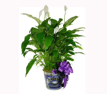 Raven''s Peace Lily in Baltimore MD, Raimondi's Flowers & Fruit Baskets