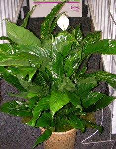 Peace Lily Or Closet Plant In Lake Charles LA, A Daisy A Day Flowers U0026