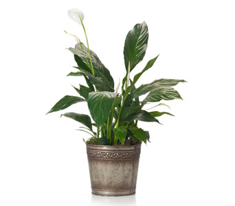 Buds and Blooms Peace Lily in Metal Pot in Federal Way WA, Buds & Blooms at Federal Way