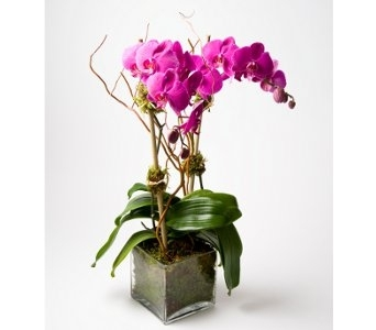 Grand Phaleonopsis Orchid in New York NY, Starbright Floral Design