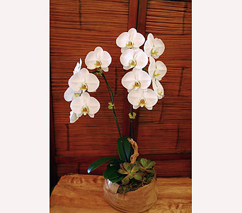 White Orchids in Los Angeles CA, Dave's Flowers