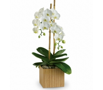 Opulent orchid plant in Scarborough ON, Helen Blakey Flowers