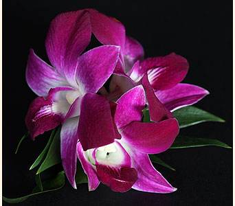 Boutonniere 3 Dendrobium Orchids in Southampton PA, Domenic Graziano Flowers