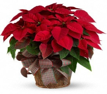 Perfect Poinsettia in Flower Delivery Express MI, Flower Delivery Express