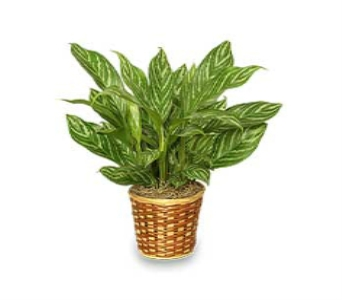 Chinese Evergreen in Columbus OH, OSUFLOWERS .COM