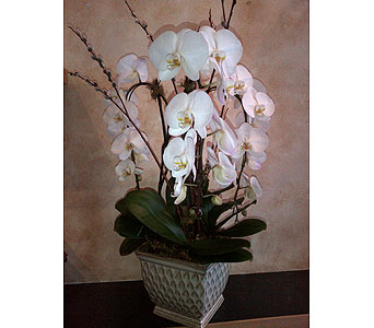 Large 3 Stem Mammoth Phalaenopsis Planter in Thornhill ON, Wisteria Floral Design