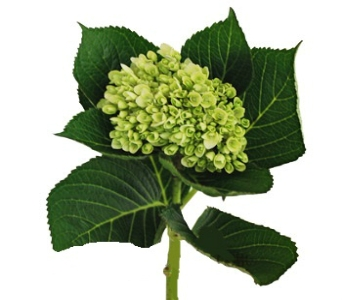 Green Hydrangea (Mini) in Columbus OH, OSUFLOWERS .COM