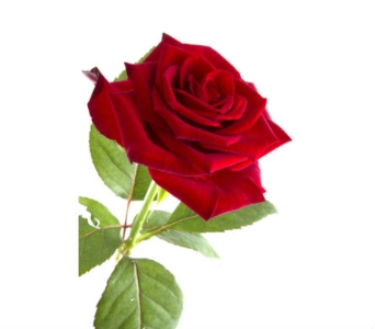1 Doz long stem red roses in a box in Mississauga ON, Streetsville Florist