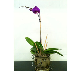 Single Stem Orchid Plant in Naples FL, Driftwood Garden Center & Florist