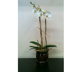 Double Stem Orchid Plant in Naples FL, Driftwood Garden Center & Florist