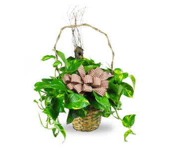 Pothos Plant in Ogden UT, Jimmy's Flowers