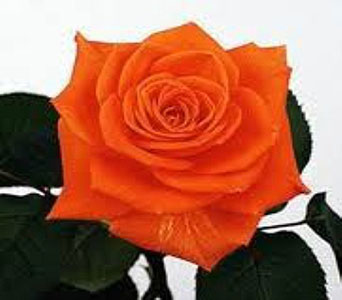 Orange Crush Roses (Flowers To Go) Special in Columbus OH, OSUFLOWERS .COM