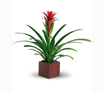 Bromeliad plant in Ogden UT, Jimmy's Flowers