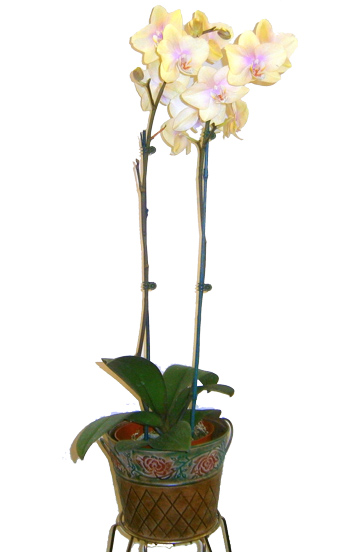 Double Stem Orchid in Scranton PA, McCarthy Flower Shop<br>of Scranton