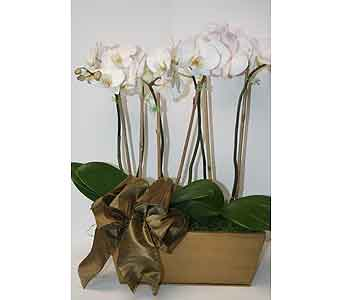 Elegant Orchids  in Moorestown NJ, Moorestown Flower Shoppe