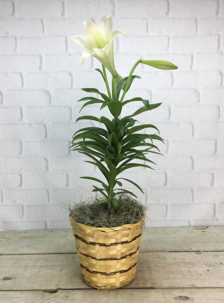 Easter Lily: Undressed in Chicagoland IL, Amling's Flowerland