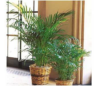 Areca Palm in San Antonio TX, Allen's Flowers & Gifts