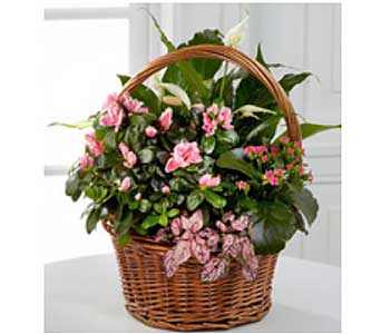 Azalea Blooming Green Basket in San Antonio TX, Allen's Flowers & Gifts