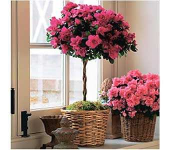 Azalea Topiary in San Antonio TX, Allen's Flowers & Gifts