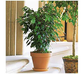Ficus Bush in San Antonio TX, Allen's Flowers & Gifts