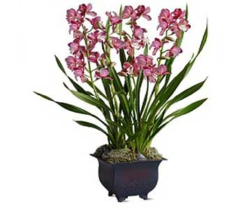 Simply Cymbidium in San Antonio TX, Allen's Flowers & Gifts