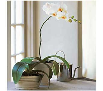 White Phalaenopsis Orchid in San Antonio TX, Allen's Flowers & Gifts