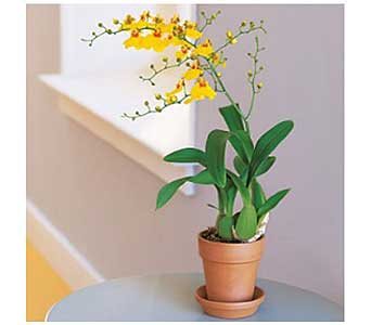 Yellow Oncidium Orchid in San Antonio TX, Allen's Flowers & Gifts